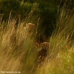Images of Mountain Zebra's Cheetah Cubs